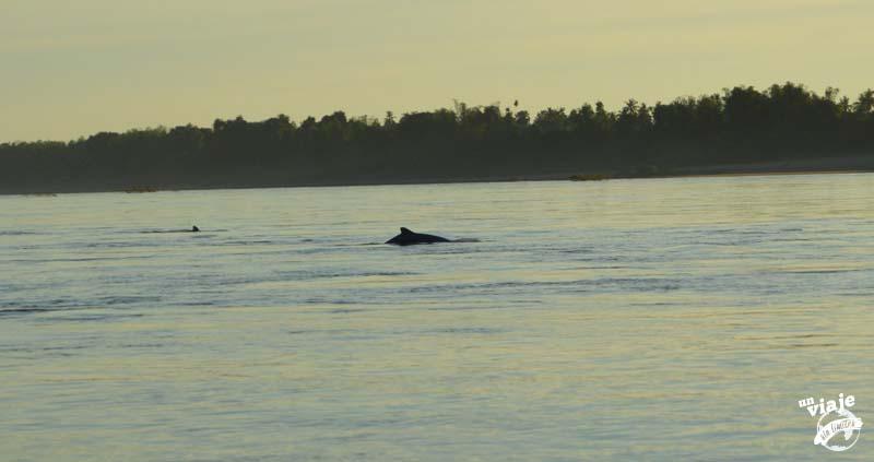 Delfines de Irrawaddy en un río de Camboya.