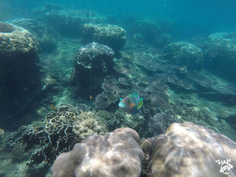 Pez loro haciendo snorkel en Malasia.