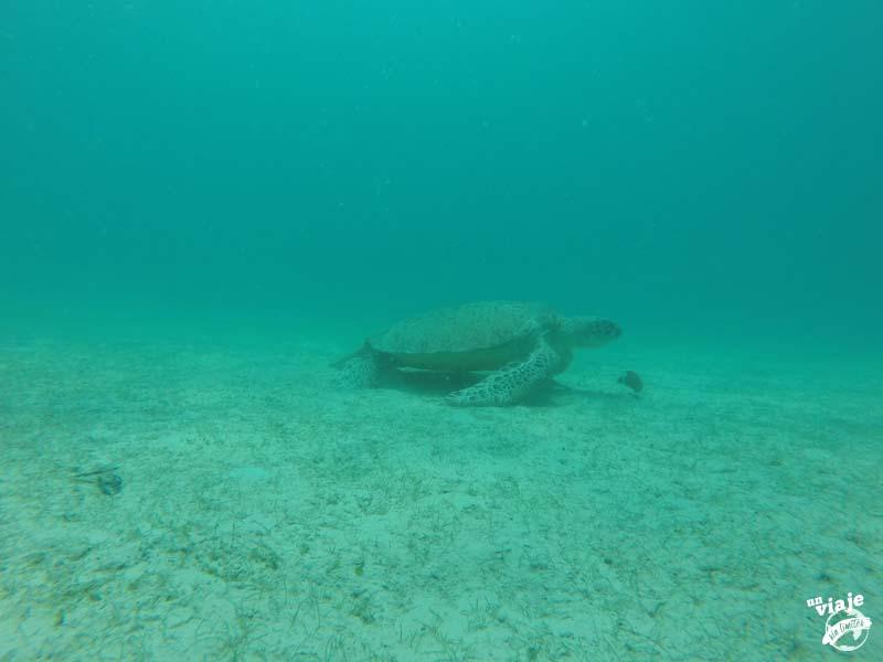 Enorme tortuga verde en libertad en Malasia.