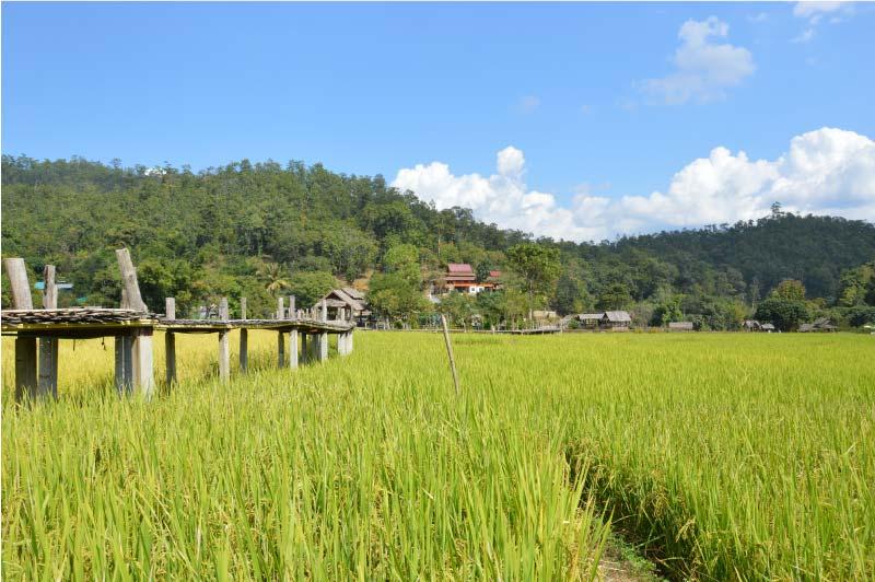 Puente de bambú, arrozales, Pai.